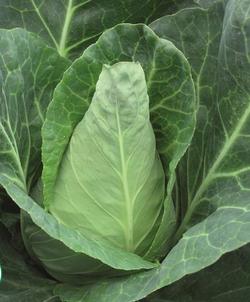 Cabbage Caraflex F1