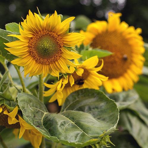 Sunflower Bouquet Wholesale