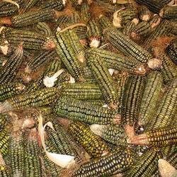 Corn Oaxacan Green Dent