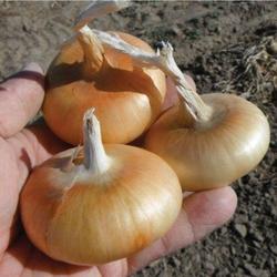 Onion Cipolla di Rovato