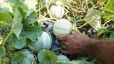 Farm visit - checking melons.JPG