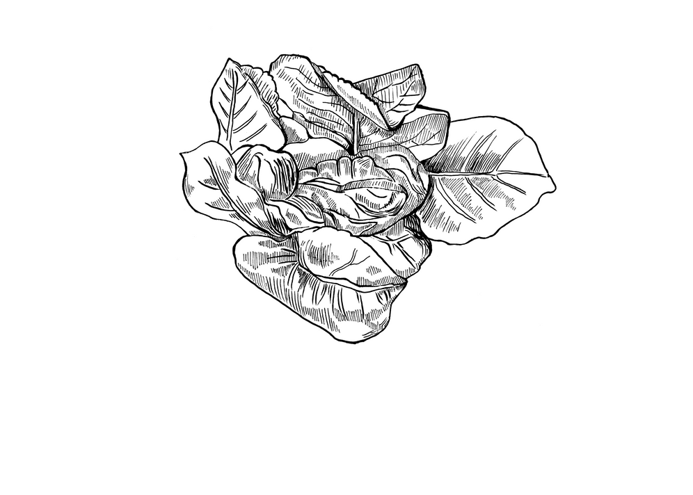 lettucenew3.png