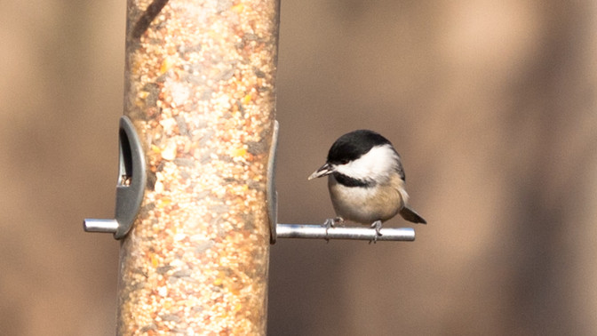 The Wonder of a Chickadee