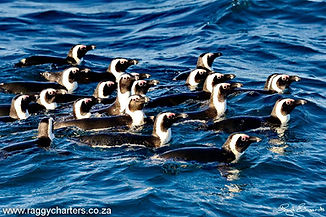 Penguins_RaggyCharters.jpg