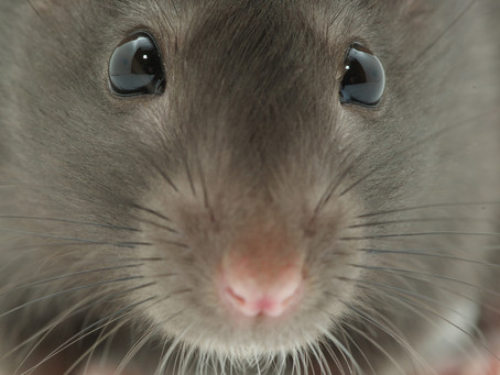 What Smell Drives Rats Away?