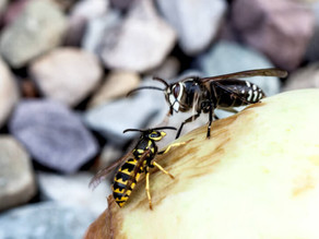 Hornet vs Yellow Jacket: How to Tell the Difference