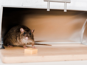6 Things That Attract Rats to Your House
