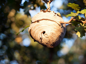 Bald Faced Hornet Nest: Everything You Need to Know