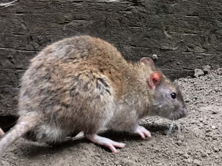 What Diseases Can You Get From Rodents?