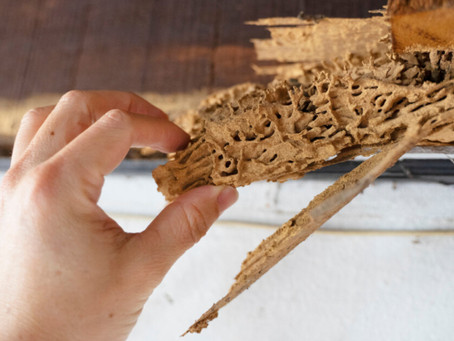 Termite VS Carpenter Ant, Major Differences Between These Two Household Pests