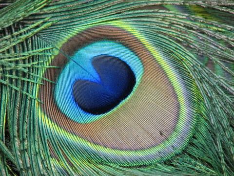 peacock-eye