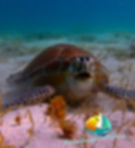 tortue, snorkeling, croisière grenadines,tobago cays