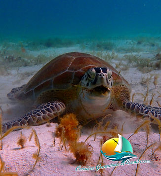 tortue, snorkeling, croisière grenadines,tobago cays