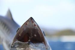 Barracuda, pêche en mer