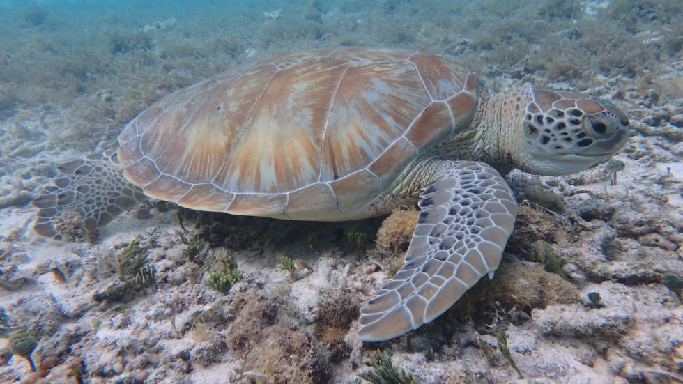 Sea turtle, Guadeloupe, Guadeloupe cruise