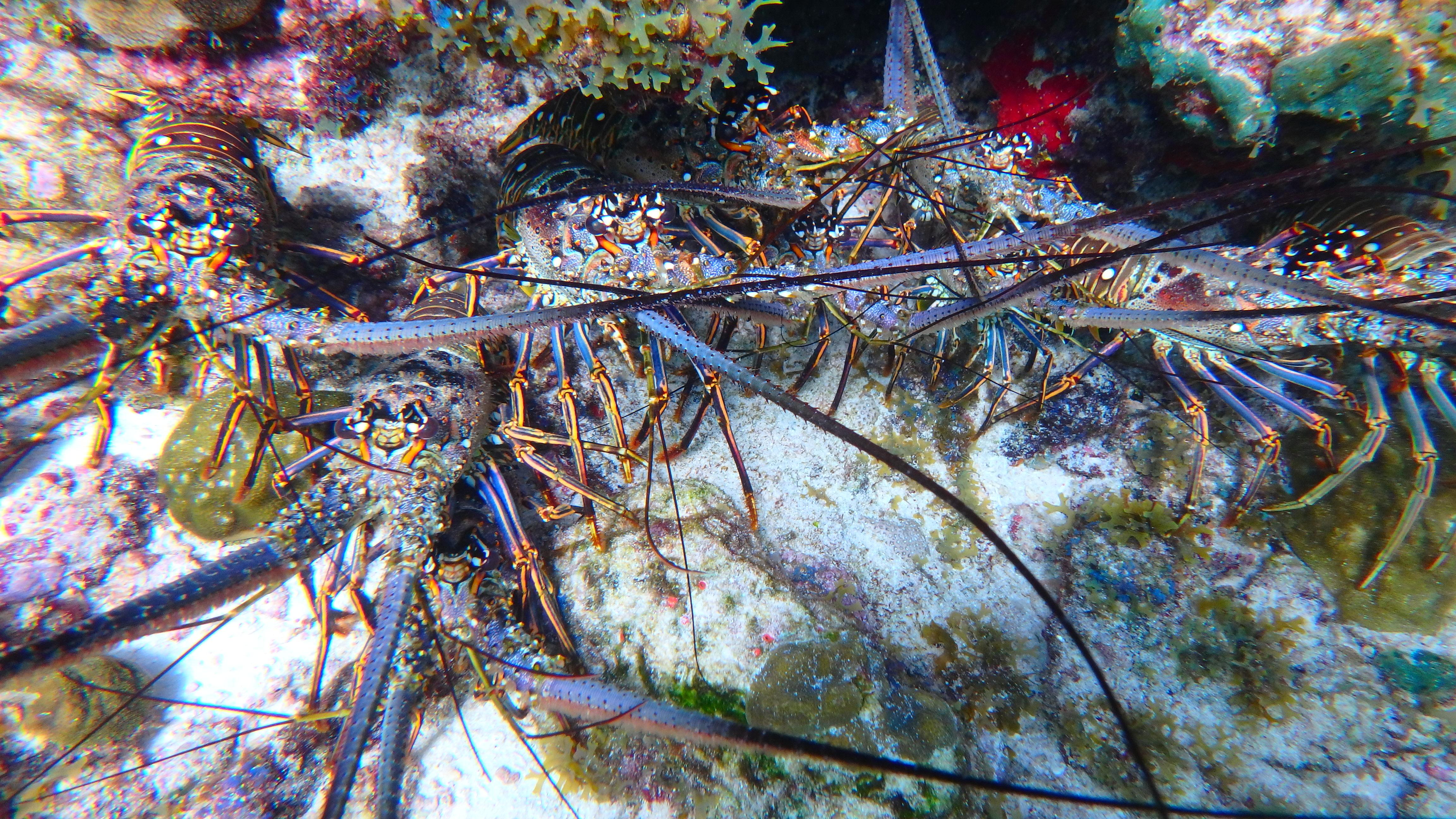 Langouste, lobster, dive, plongée