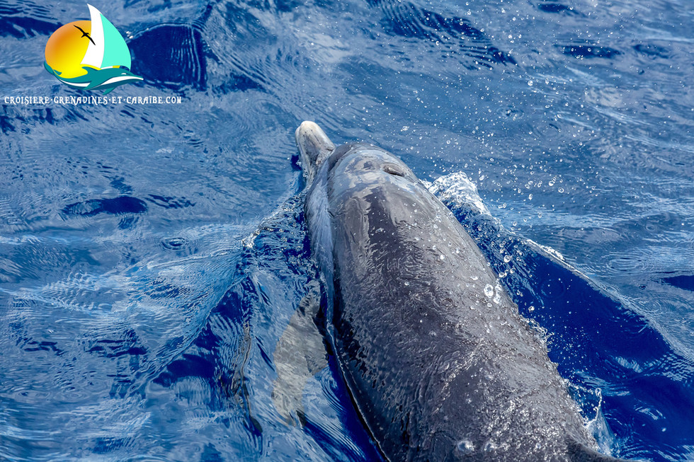 Dolphins, cetacean encounter, Guadeloupe Cruise
