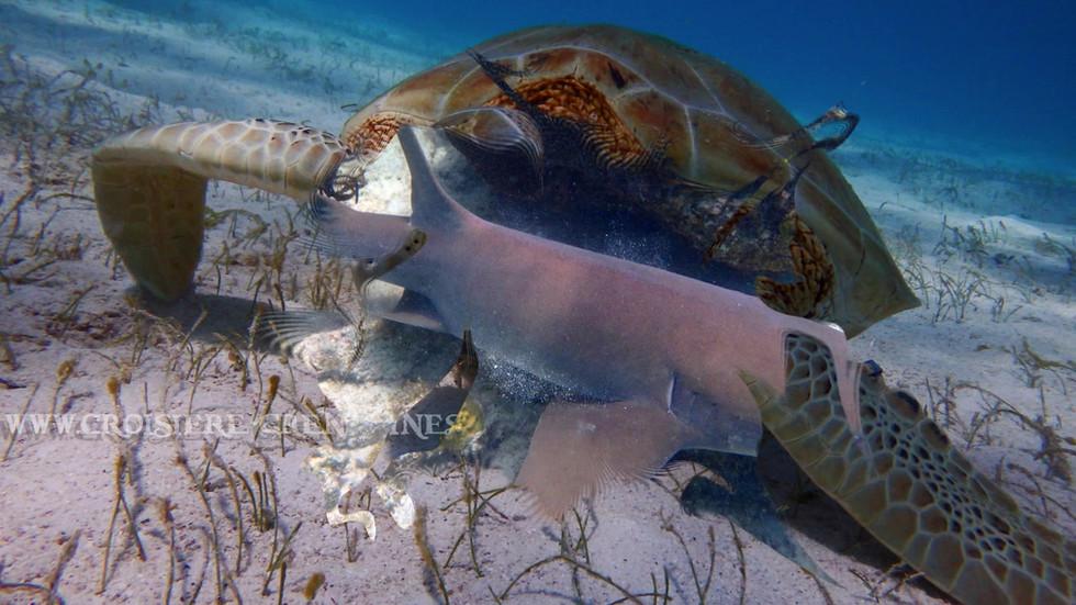 Tortue, snorkeling, grenadines, crosiere Grenadines
