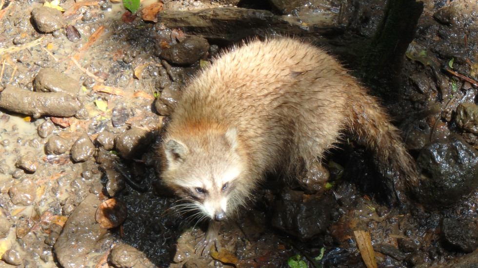 Racoon, raccoon, Croisiere Guadeloupe