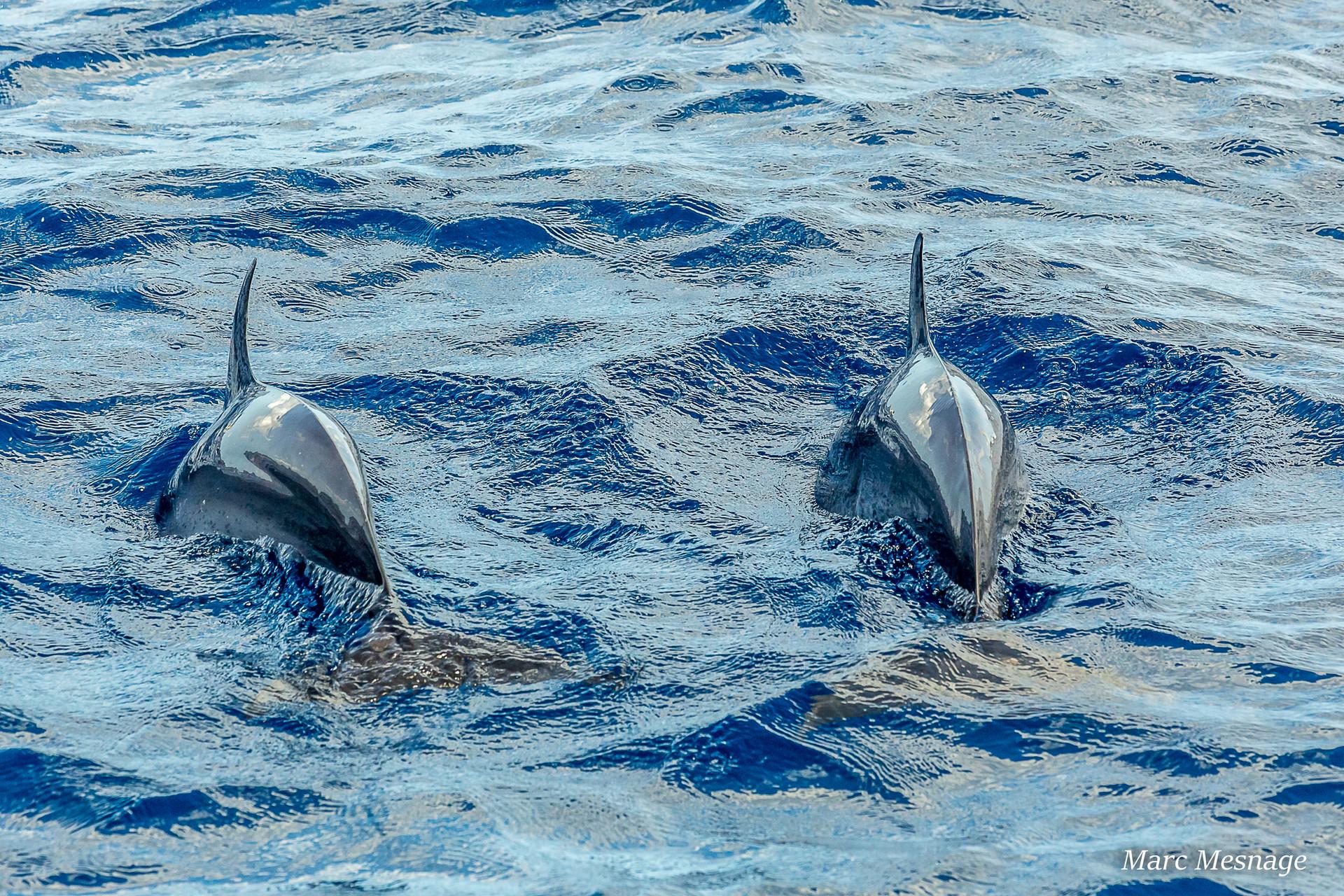 sortie dauphins, Martinique, croisiere Martinique, catamaran Martinique
