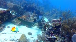 Requin nourrice, croisiere plongée
