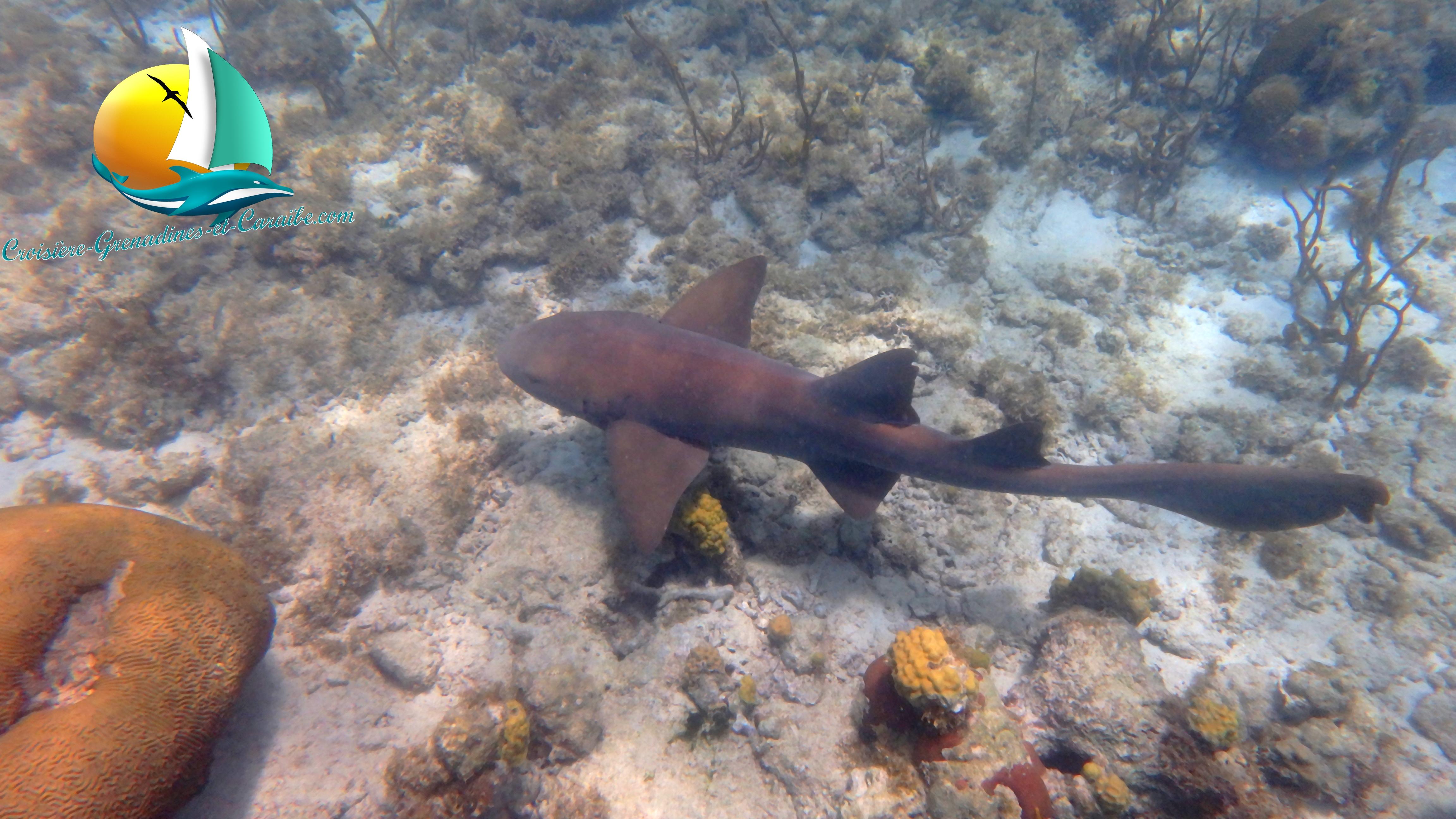 Plongée requin, croisiere Grenadines