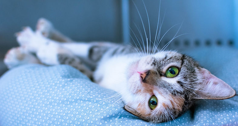 calico cat with green eyes