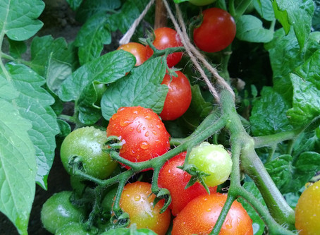 Pruning & Harvesting Tomato Plants
