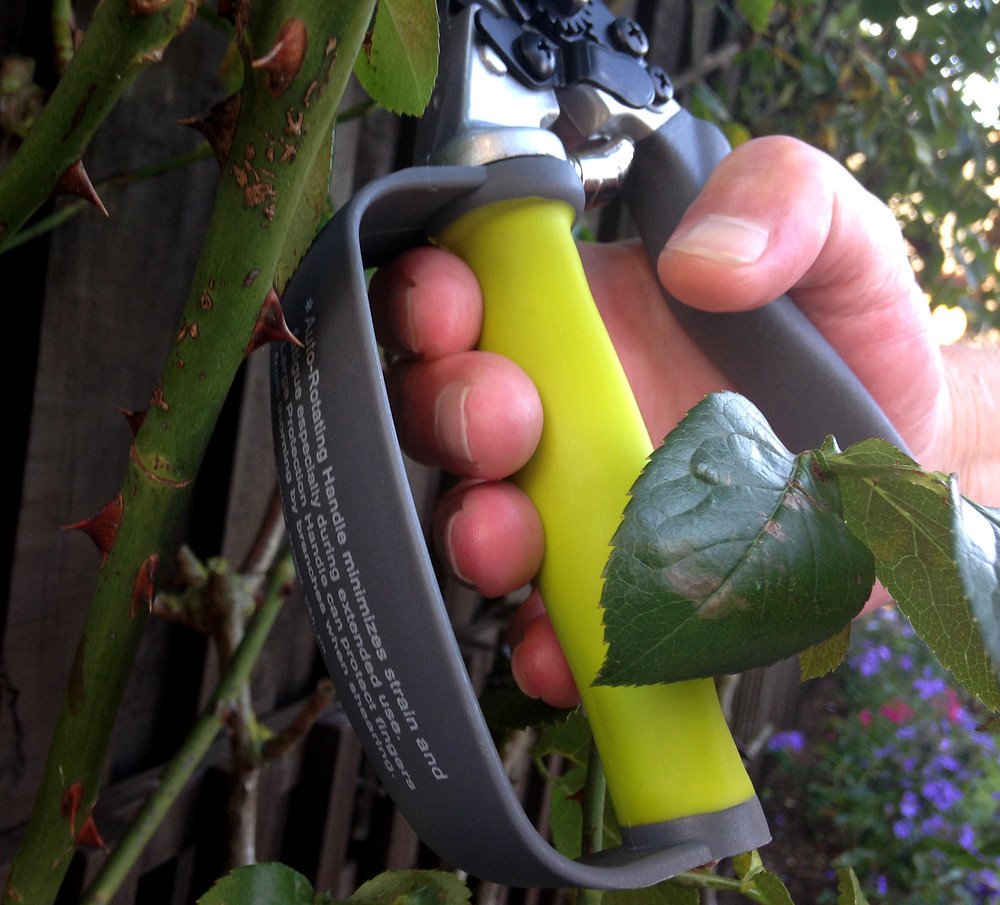person pruning a climbing rose plant. Using Pro Bypass with finger guard protection