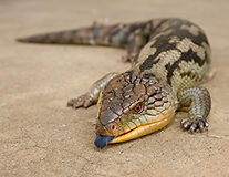 Blue-tongued-skink-small.jpg
