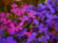 Purple and pink flowers in field
