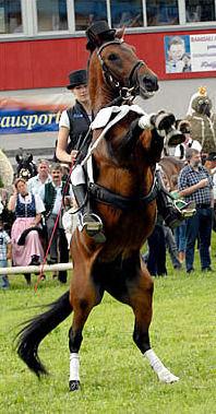 Levade, steigendes Pferd