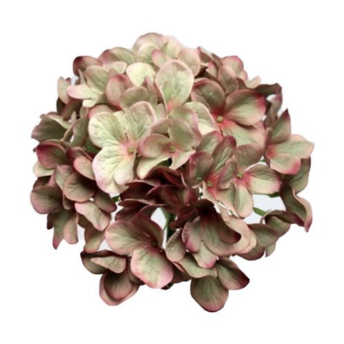 Hydrangea Green/Pink 50cm