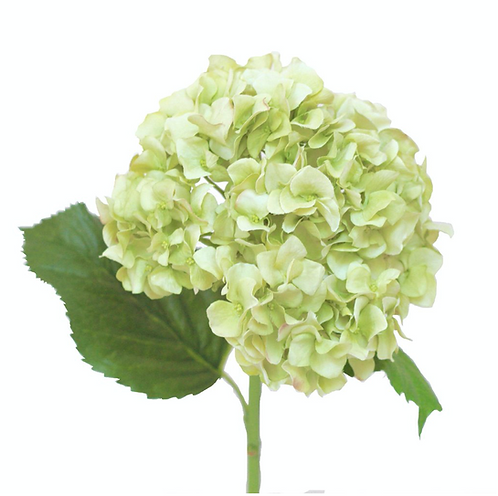 Green Dried Hydrangea