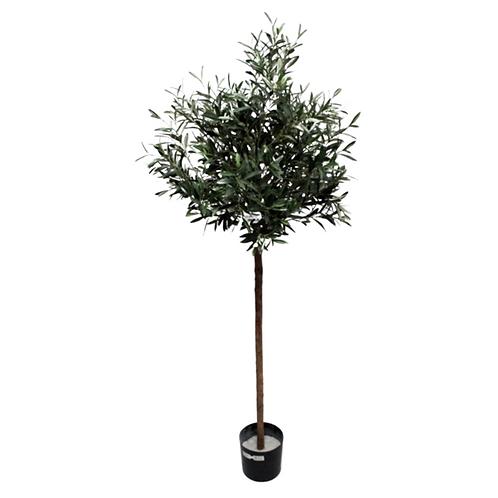 Olive Tree 1.8m