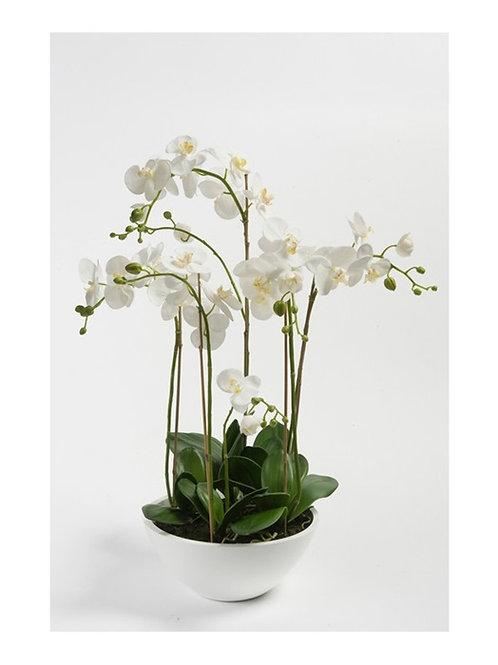 Phalaenopsis In Bowl
