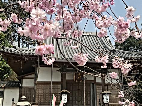 境内の枝垂桜