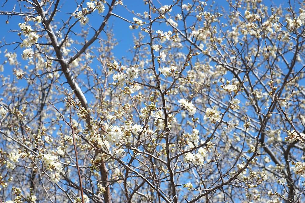 plum blossoms.jpg