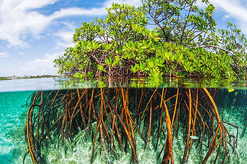 above-and-below-water-view-of-mangrove-j