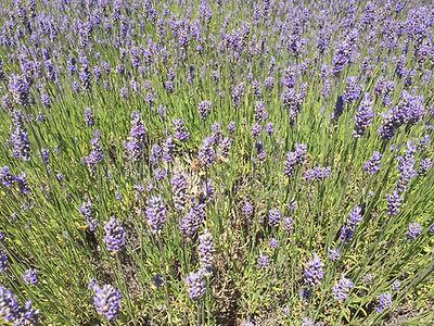 lavender farm IMG_2429.JPG