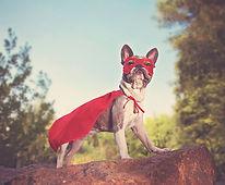 cute french bulldog in a super hero cost