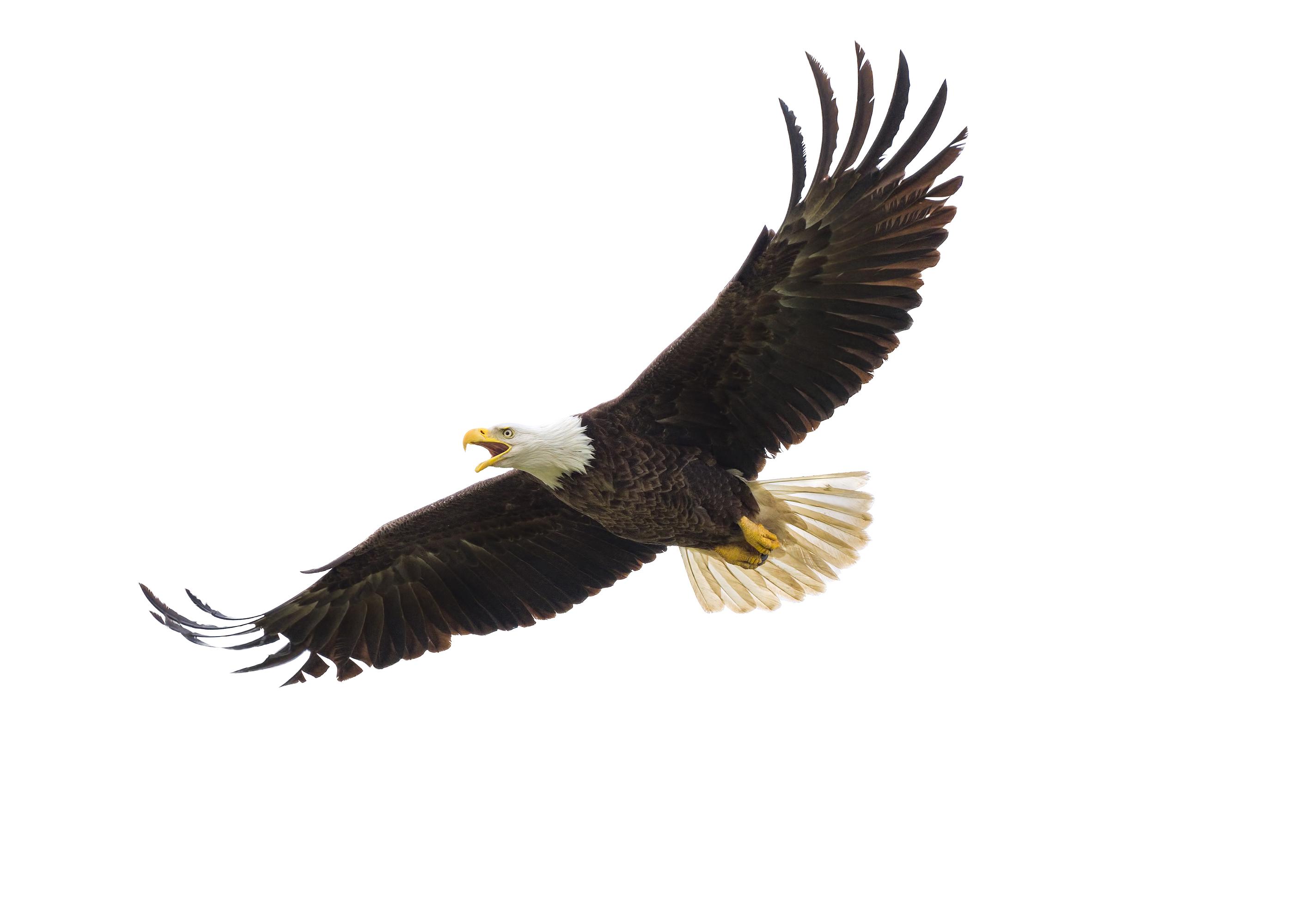 American Bald Eagle In Flight.jpg