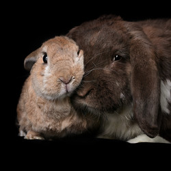 2 Rabbits comforting each other, absphot