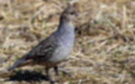 A scaled quail standing on grass