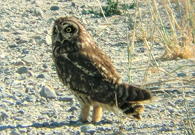 Short Eared Owl standing in the open