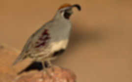 a male Gambels quail standing on top of a rock