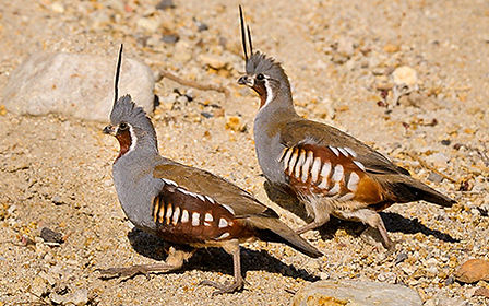 two mountain quail running across sand, dirt, and rocks