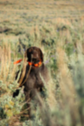 Buddy the dog sniffing the air in sagebrush trying to find a sage grouse