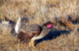 A male sharp tailed grouse displaying on a lek for a female sharp tail