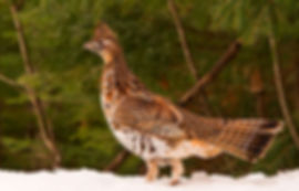 A ruffed grouse standing in the snow by a spruce tree